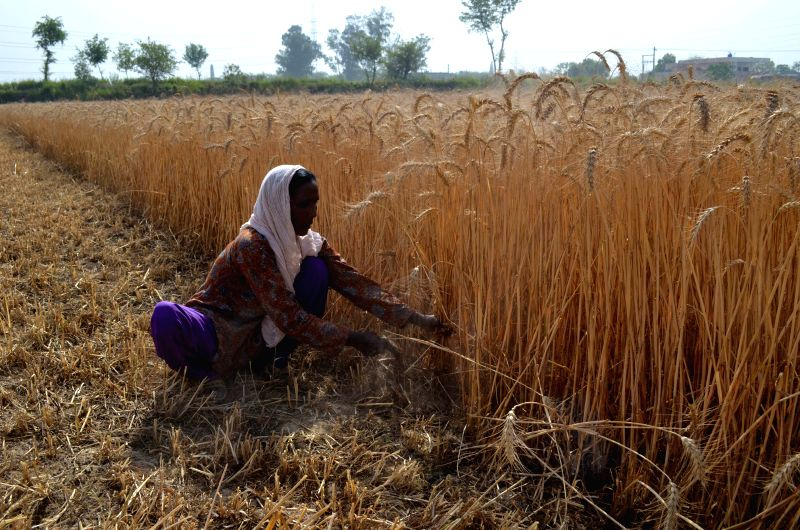 LAHORE, April 20, 2017 - A female farmer harvests wheat in a field on the outskirts of eastern Pakistan's Lahore, on April 20, 2017. Pakistan's wheat output is expected to reach 26 million tons this ...