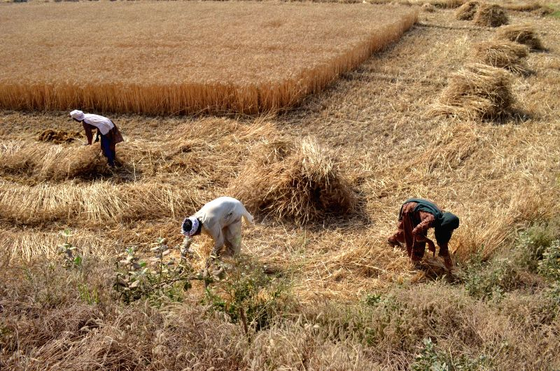 LAHORE, April 20, 2017 - Farmers harvest wheat in a field on the outskirts of eastern Pakistan's Lahore, on April 20, 2017. Pakistan's wheat output is expected to reach 26 million tons this year if ...