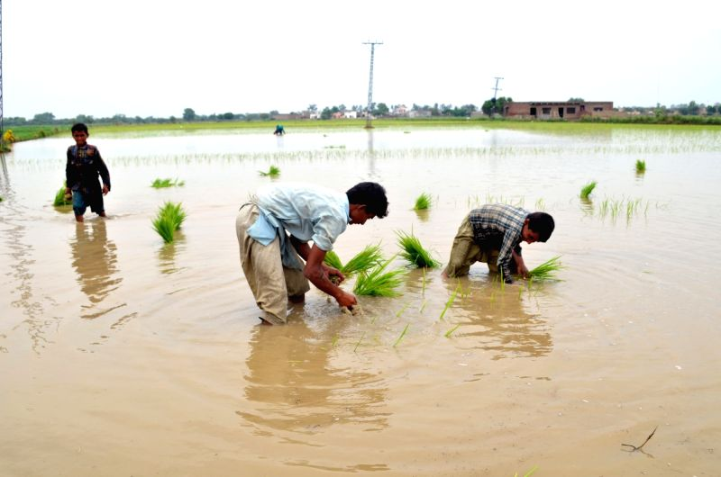 LAHORE, June 9, 2017 - Farmers plant rice seedlings at a paddy field in eastern Pakistan's Lahore, on June 9, 2017. (Xinhua/Jamil Ahmed)