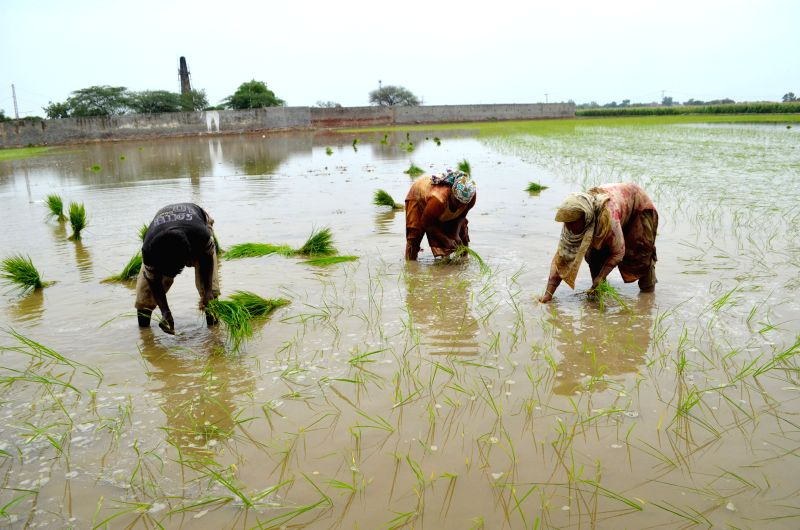 LAHORE, June 9, 2017 - Farmers plant rice seedlings at a paddy field in eastern Pakistan's Lahore, on June 9, 2017.