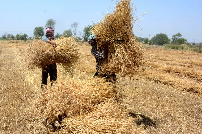 LAHORE, May 2, 2017 - Farmers harvest wheat crops on the outskirts of eastern Pakistan's Lahore, on May 2, 2017.