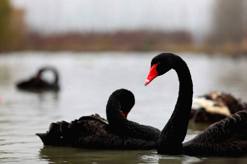 LAI'Photo taken on Dec. 5, 2018 shows swans at the Chishan Lake National Wetland Park in the Lai'an County, east China's Anhui Province. The cypress trees not only curb ...
