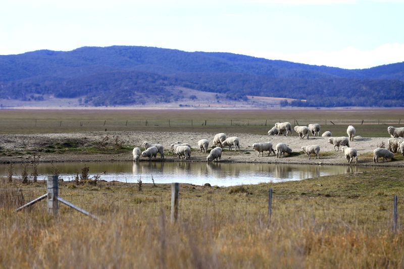 LAKE GEORGE, Aug. 11, 2018 - Sheep drink water on the dried lakebed of Lake George in Australia, Aug. 11, 2018. Australia suffers through its worst drought in decades.