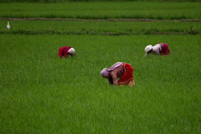 LALITPUR, July 26, 2016 - Nepalese women weed a paddy field in Khokana, on the outskirts of Lalitpur, Nepal, July 26, 2016. Agriculture is the major sector of Nepalese economy which contributes about ...
