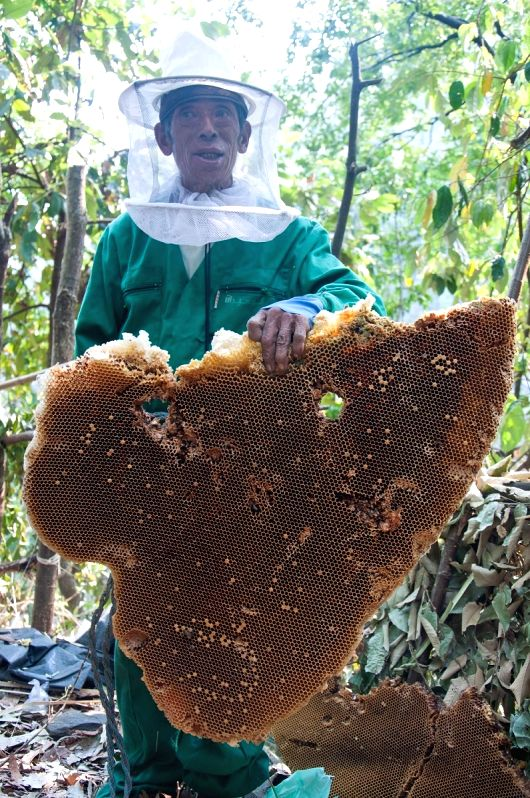 A honey hunter shows a honeycomb after hunting honey at Lamjung, Nepal on April 25, 2014. Honey hunting is an age-old tradition here in Nepal. Local honey hunters .