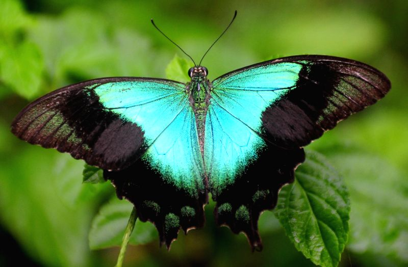 A butterfly (Papilio peranthus) sits on a leaf at Gita Persada Butterfly Park, Lampung Province, Indonesia, Aug. 14, 2014. The Gita Persada Butterfly Park was ...