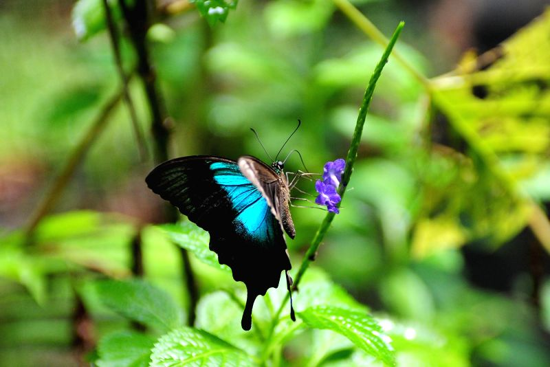 A butterfly (Papilio peranthus) sits on a flower at Gita Persada Butterfly Park, Lampung Province, Indonesia, Aug. 14, 2014. The Gita Persada Butterfly Park was ...