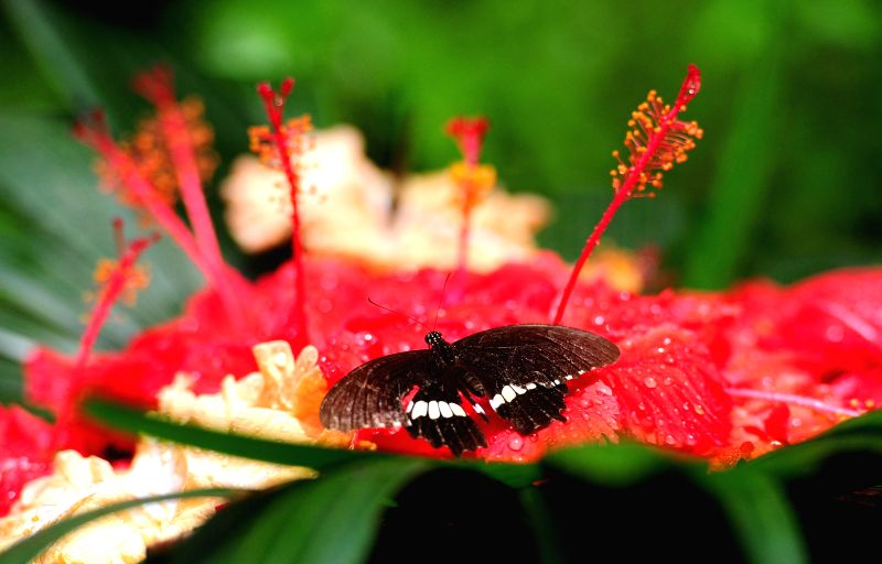 A butterfly sits on a flower at Gita Persada Butterfly Park, Lampung Province, Indonesia, Aug. 14, 2014. The Gita Persada Butterfly Park was founded in 1997. The ...