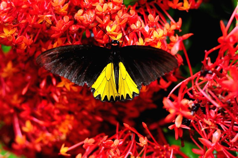 A butterfly (Troides helena) sits on flowers at Gita Persada Butterfly Park, Lampung Province, Indonesia, Aug. 14, 2014. The Gita Persada Butterfly Park was founded