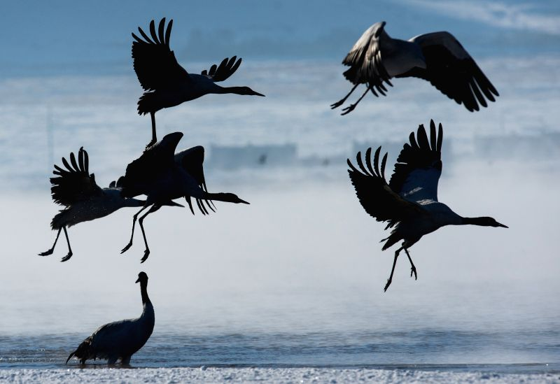 Black-necked cranes fly in the Linzhou County, southwest China's Tibet Autonomous Region, Jan. 9, 2015. The number of black-necked cranes, the first-level state ...