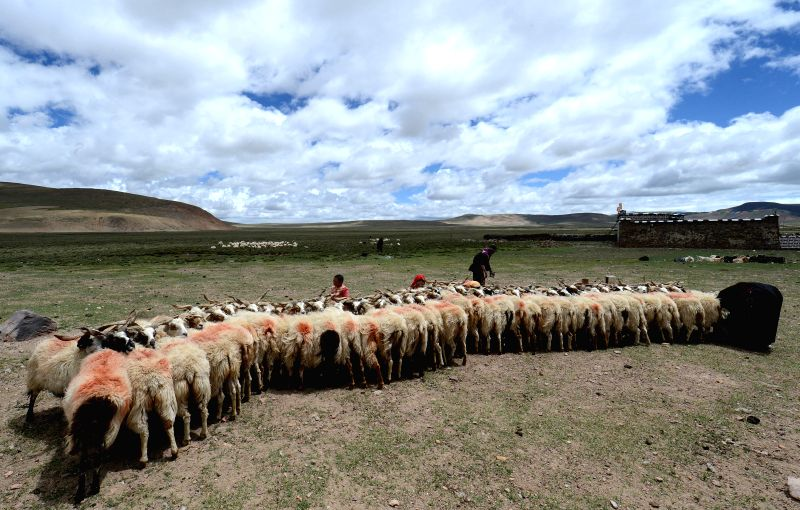 A local family milk their sheep at Namco Township of Damxung County in Lhasa, capital of southwest China's Tibet Autonomous Region, June 20, 2014. Northern Tibet has .