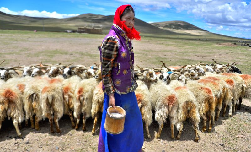 A local villager milks sheep at Namco Township of Damxung County in Lhasa, capital of southwest China's Tibet Autonomous Region, June 20, 2014. Northern Tibet has ...