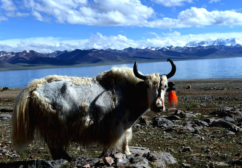 "A yak is seen by the Nam Co (""heavenly lake"" in Tibetan) in Damxung County, southwest China's Tibet Autonomous Region, June 23, 2014. The Nam Co has entered"