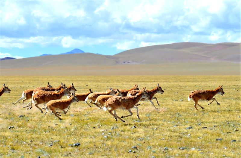 LHASA, Sept. 20, 2017 - Tibetan antelopes gallop on a pasture in Nyima County, southwest China's Tibet Autonomous Region, Sept. 19, 2017. Changtang National Nature Reserve is a wildlife paradise and ...