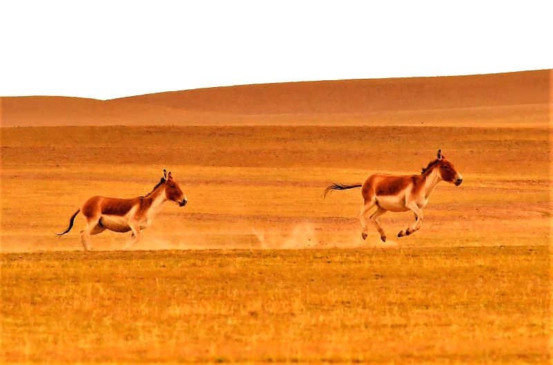 LHASA, Sept. 20, 2017 - Two Tibetan wild donkeys gallop on a pasture in Nyima County, southwest China's Tibet Autonomous Region, Sept. 19, 2017. Changtang National Nature Reserve is a wildlife ...