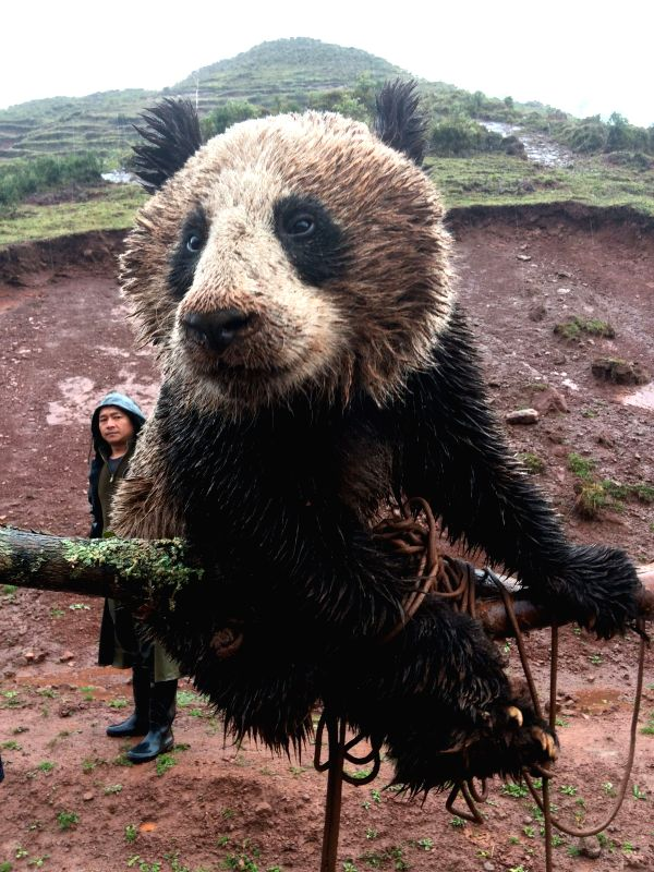 Photo taken by a mobile phone on May 8, 2014 shows the wild panda, to be transferred to a nature reserve, in Yimudi Township, southwest China's Sichuan Province. A .