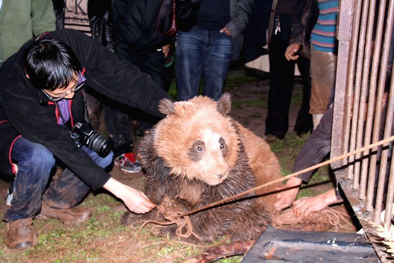 Photo taken on May 8, 2014 shows the wild panda, to be transferred to a nature reserve, in Yimudi Township, southwest China's Sichuan Province. A villager in Yimudi
