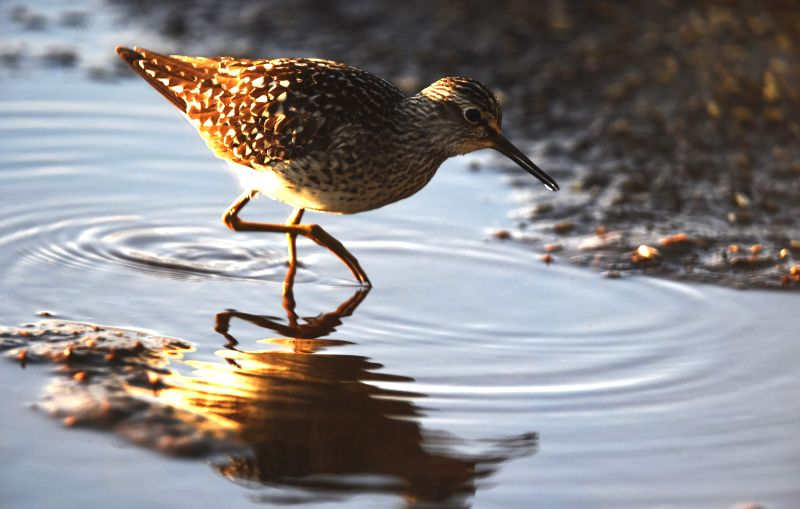 LIMINKA (FINLAND), May 14, 2016 A wood sandpiper looks for food in the wet land in Liminka Bay, Finland on May 13, 2016. Liminka Bay, located in northwestern Finland, is one of the most ...