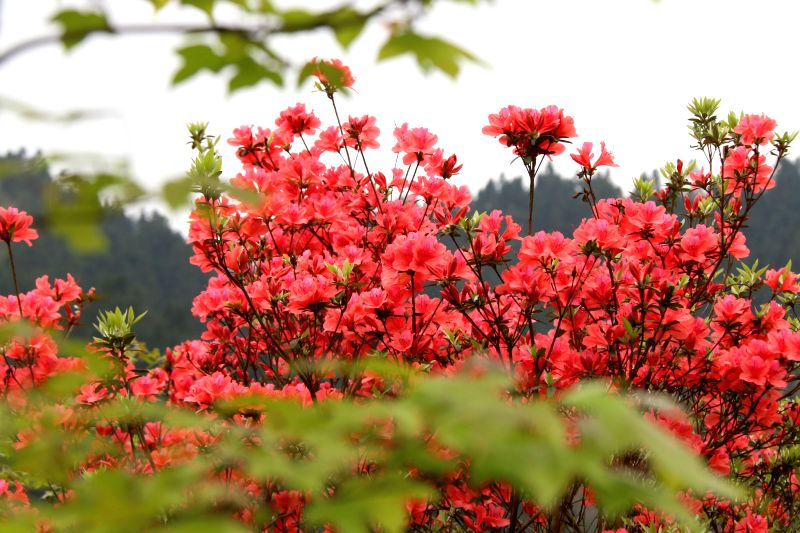 LINGPING, April 5, 2016 - Photo taken on April 5, 2016 shows blooming azalea blossoms at Dangjiao Village in Liping County, southwest China's Guizhou Province.