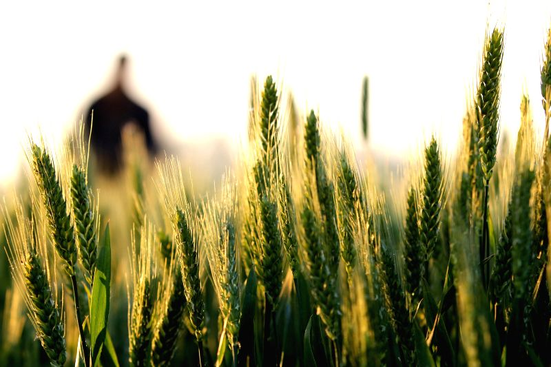 A farmer checks the quality of wheat crops at his field in Yanqiao Village, Linyi, east China's Shandong Province, May 3, 2014.