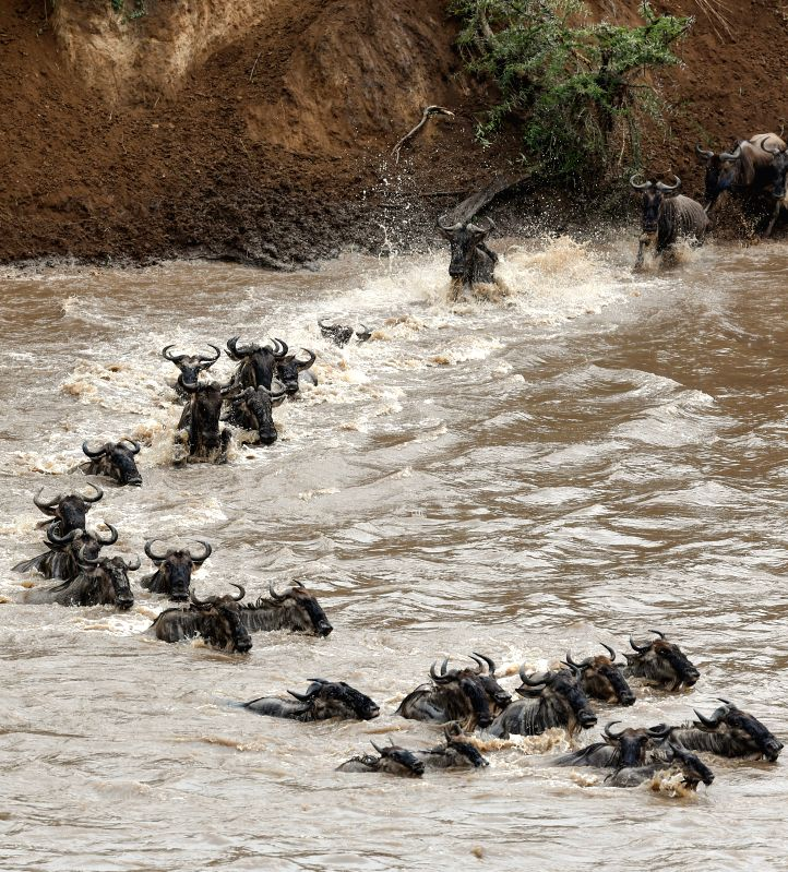 A group of wildebeests cross the Mara River at the Maasai Mara National Reserve in Kenya, on Aug. 17, 2014. Millions of wildebeests cross the Mara river during .