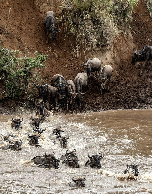 A group of wildebeests  cross the Mara River at the Maasai Mara National Reserve in Kenya, on Aug. 17, 2014. Millions of wildebeests cross the Mara river during