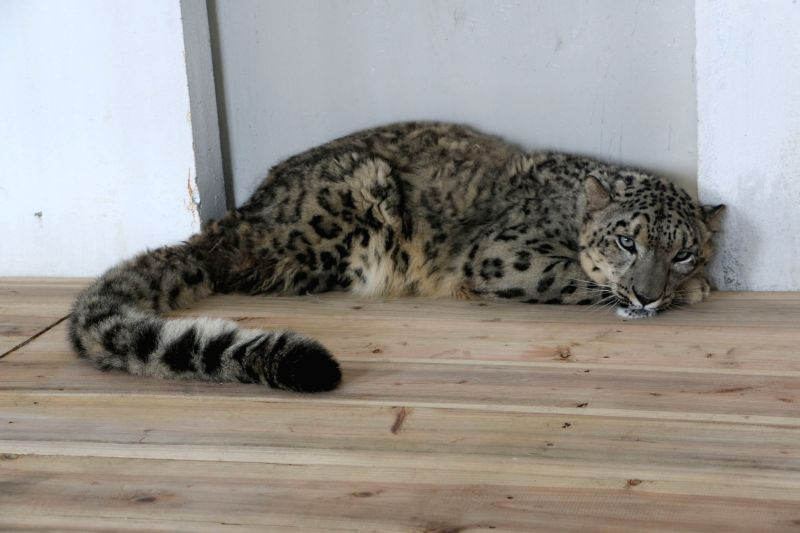 Darjeeling zoo welcome snow leopard from Britain