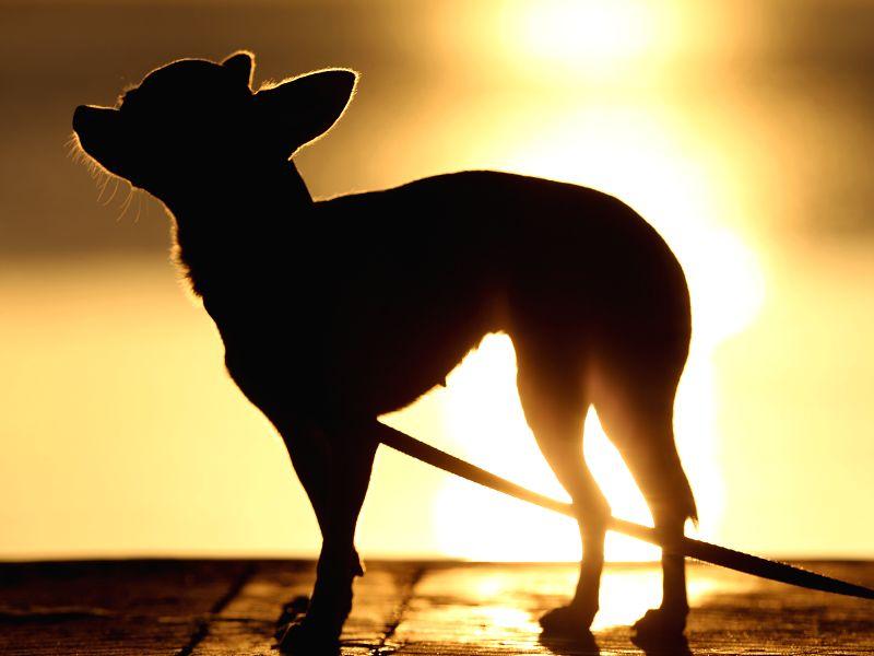 MANILA BAY, Jan. 8, 2019 - A dog is seen during sunset at Manila Bay in Manila, the Philippines, Jan. 8, 2019. Philippine President Rodrigo Duterte is trying to get around 876 million U.S. dollars to ...