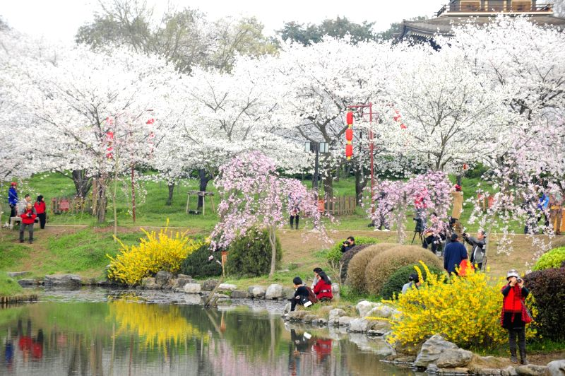 Cherry Blossoms at Moshan 2013