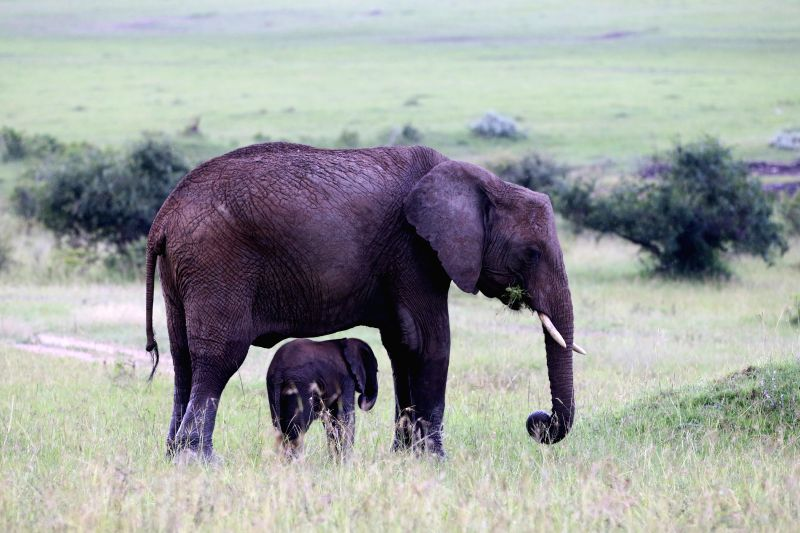 A baby elephant and its mother graze on grass at Masai Mara National Reserve in Kenya, June 13, 2015.
