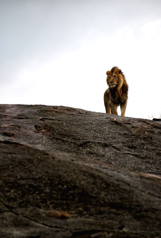 A lion is seen on a rock at Masai Mara National Reserve in Kenya, June 13, 2015.