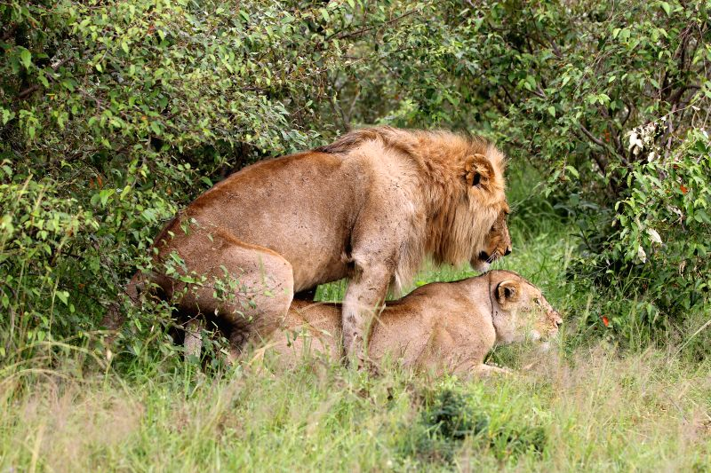 A male lion mates with a female one inside the bushes at Masai Mara National Reserve in Kenya, June 14, 2015.