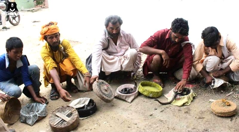 : Mathura: Snake charmers in Mathura's Sri Krishna Janam Bhoomi area on Aug 8, 2018. Ahead of the Naag Panchmi festival next week, Forest Department officials have seized 21 snakes from snake ...