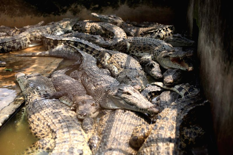 MEDAN(INDONESIA),  Sept. 17, 2017 Some crocodiles are seen at Asam Kumbang breeding in Medan, North Sumatera, Indonesia. Sept. 17, 2017.