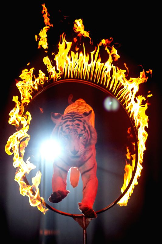 Photo taken on Aug. 8, 2014 shows a tiger jumps through a fire ring during a circus show in Mexico City, capital of Mexico. Mexico City, the capital of Mexico ..