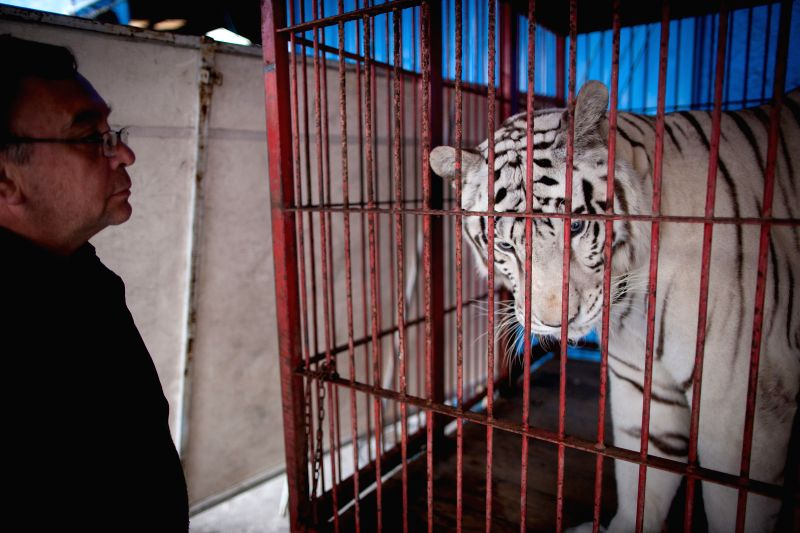 Photo taken on Aug. 8, 2014 shows a man watches a white tiger inside a cage in a circus of Mexico City, capital of Mexico. Mexico City, the capital of Mexico ...