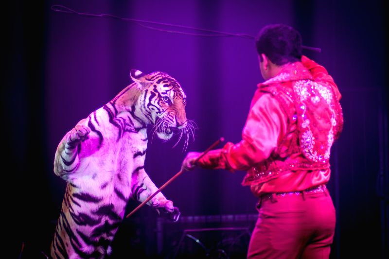 Photo taken on Aug. 8, 2014 shows a tiger with its tamer during a circus show in Mexico City, capital of Mexico. Mexico City, the capital of Mexico issued a ban