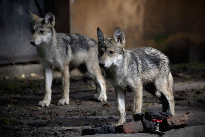 Two Mexican Gray Wolf offsprings given birth for the first time with the help of artificial insemination in San Juan de Aragon Zoo in Mexico City are seen in ...