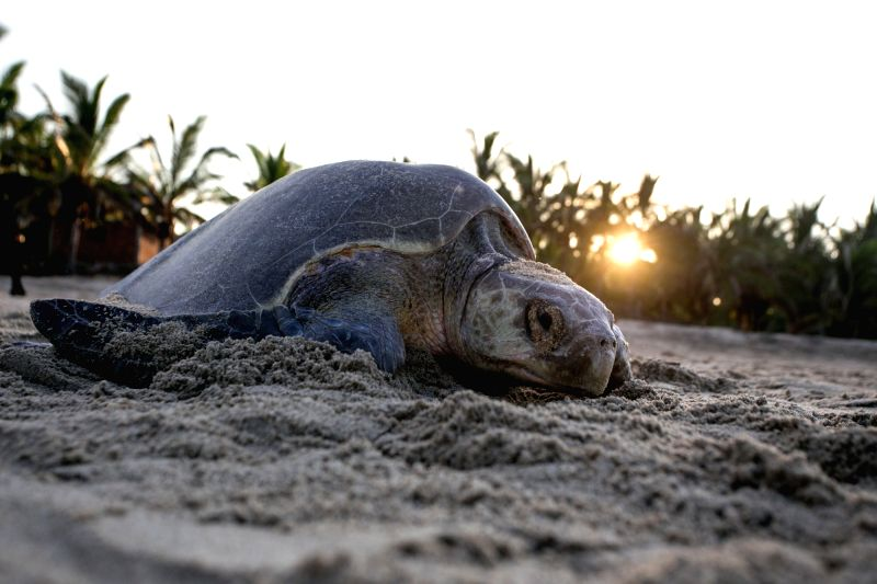 MICHOACAN, Aug. 1, 2016 - An olive ridley turtle is seen on the Ixtapilla Beach in the State of Michoacan, Mexico, on July 31, 2016. At the end of July, thousands of olive ridley turtles have crawled ...
