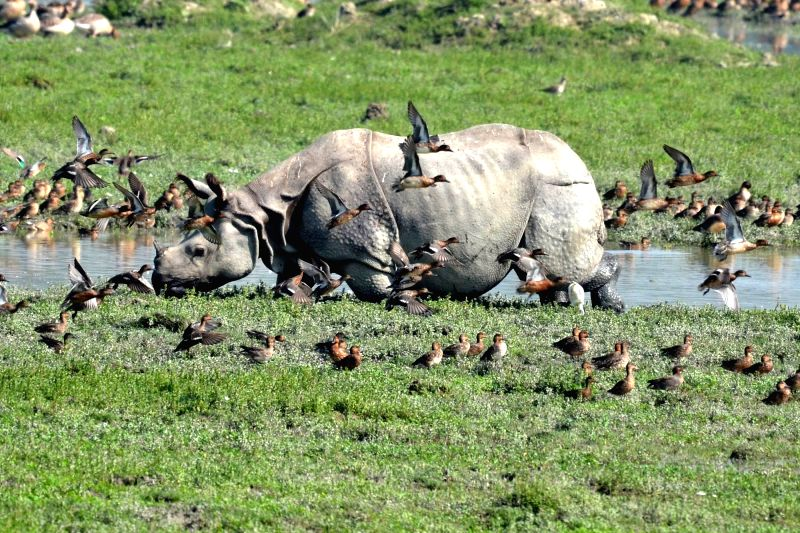 Migratory birds seen along with a one horned rhino at the Pobitora Wildlife Sanctuary in Morigaon district of Assam.