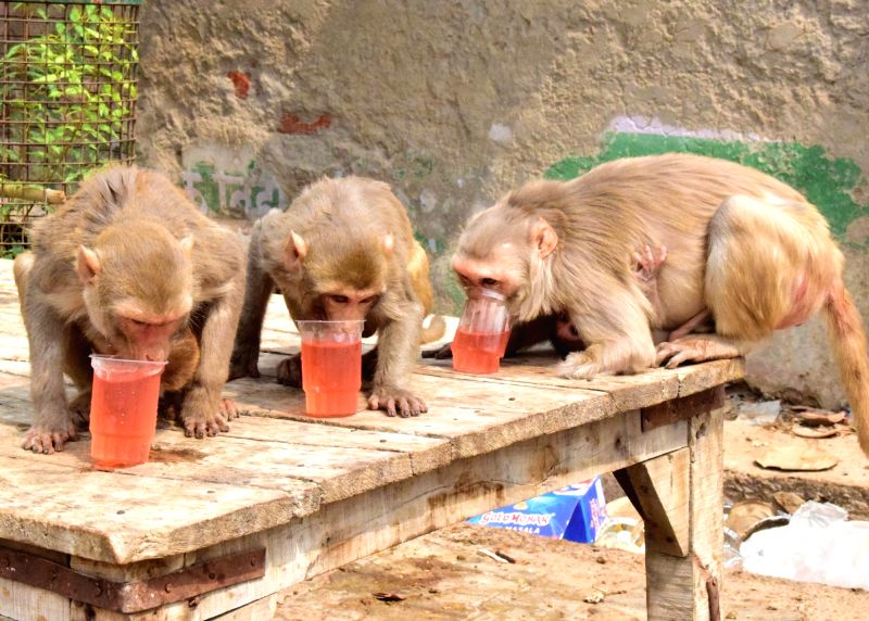 Monkeys enjoy drinks to quench their thirst on a hot summer day, in Mathura on June 9, 2018.