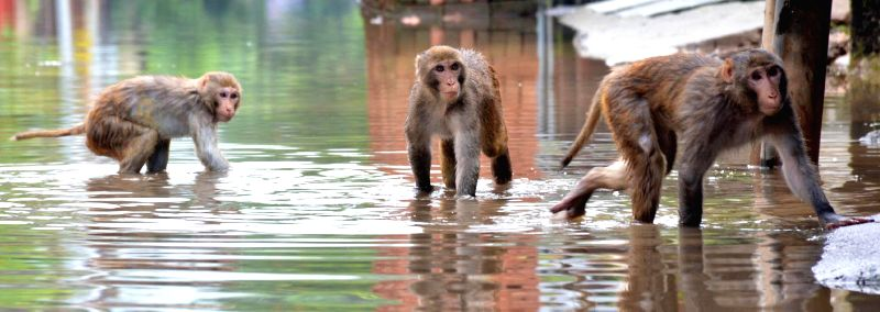 Monkeys enjoy themselves as they wade through a waterlogged street of Guwahati.