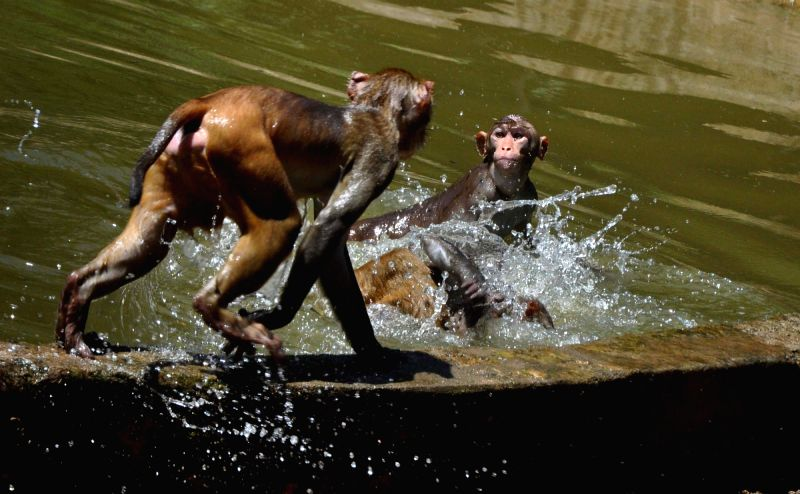Monkeys in a playful mood on a hot day, in Guwahati, on July 19, 2018.