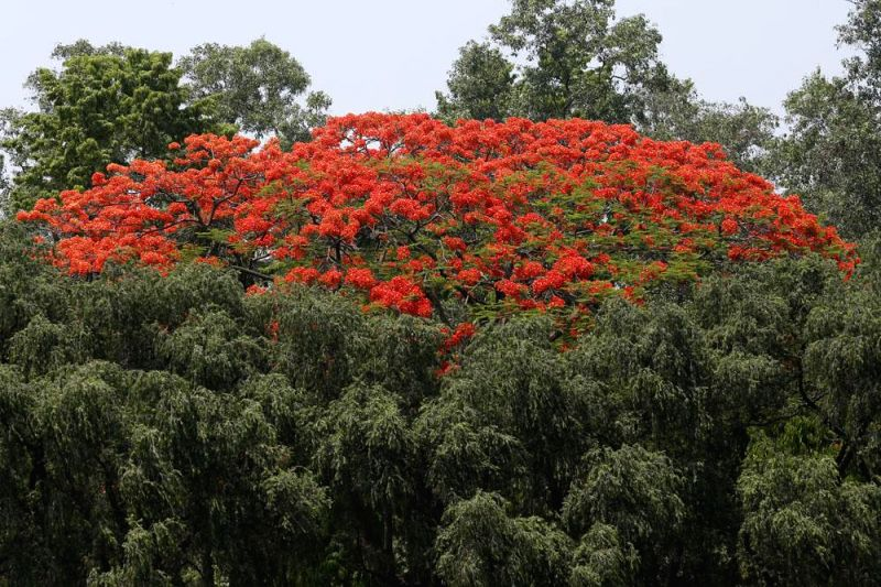 Moonsoon flowers Krishnachura (Delonix regia) bloom in Dhaka's (Bangladesh) Chandrima Udyan on April 25, 2014.