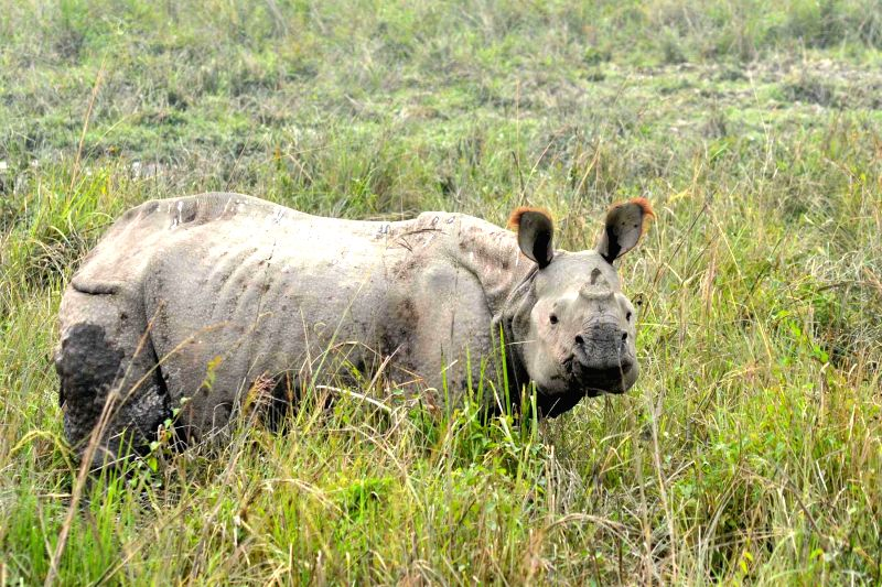 A one-horned rhinoceros grazes at Pobitora Wildlife Sanctuary in Morigaon district of Assam on Dec 1, 2014.