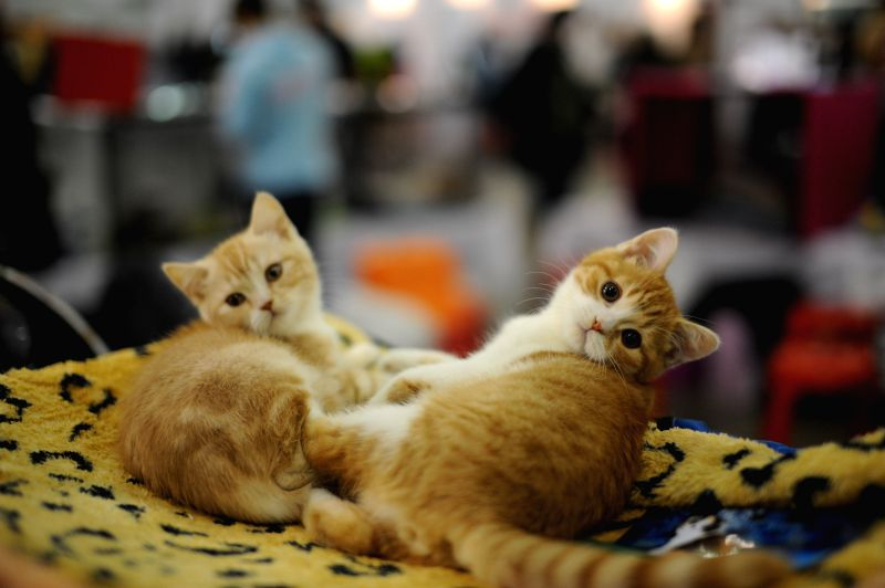 Moscow (Russia): Two cats are seen on the Grand-prix Royal Canin International Cat Show held in Moscow, Russia, Dec. 6, 2014. The 2-day event kicked off here on Saturday, with more than 2,000 cats ...