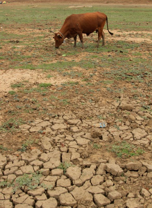 MT DARWIN, Oct. 13, 2019 (Xinhua) -- A cattle grazes near a drying reservoir in Mt. Darwin, Zimbabwe, Oct. 11, 2019. Zimbabwe is facing severe food shortages due to a combination of drought and cyclone this year. (Photo by Shaun Jusa/Xinhua/IANS)