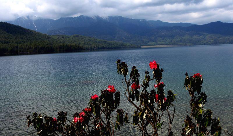 Photo taken on May 7, 2014 shows Rhododendron flowers growing at a bank of Rara lake in Mugu, Karnali, Nepal. Rara lake, the biggest lake of Nepal, falls under the Rara .