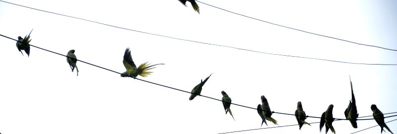 Parrots perched on overhead wires in Mumbai, on April 9, 2015.