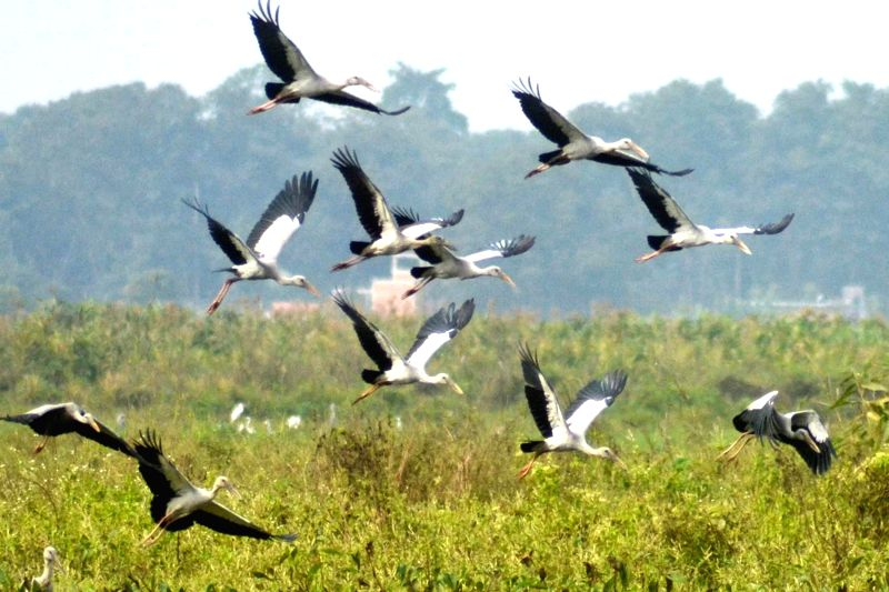 A flock of Asian Openbill or Asian openbill stork flies in the sky of Chaparmukh village in Nagaon district of Assam on Dec 14,2014.